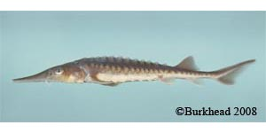 shortnose sturgeon Species Photo
