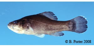 pirate perch Species Photo
