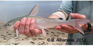 hardhead catfish Species Photo