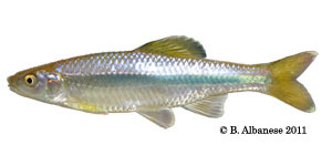 Ocmulgee shiner Species Photo