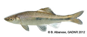 bluestripe shiner Species Photo