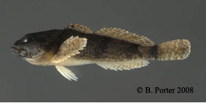 banded sculpin Species Photo