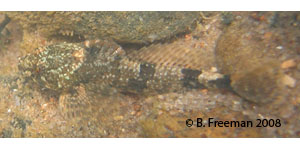 Coosa banded sculpin Species Photo