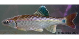 Alabama shiner Species Photo