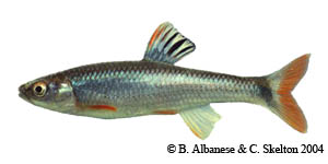 tricolor shiner Species Photo