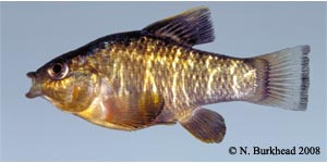 sheepshead minnow Species Photo