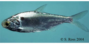 gizzard shad Species Photo