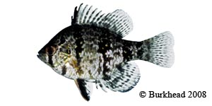 blackbanded sunfish Species Photo