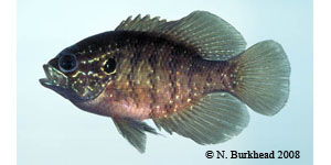 banded sunfish Species Photo