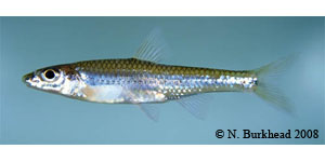 longjaw minnow Species Photo