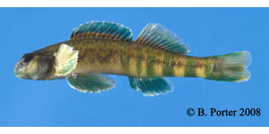 greenside darter Species Photo