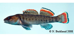 Etowah darter Species Photo