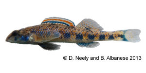 blueside darter Species Photo