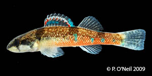 trispot darter Species Photo