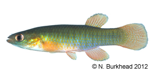 banded topminnow Species Photo
