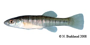 banded killifish Species Photo
