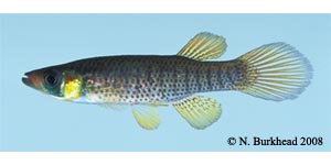 russetfin topminnow Species Photo