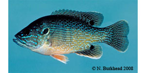 green sunfish Species Photo
