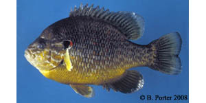 pumpkinseed Species Photo