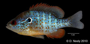 orangespotted sunfish Species Photo