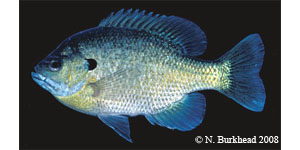 bluegill Species Photo