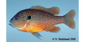 longear sunfish Species Photo