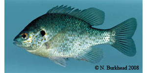 redear sunfish Species Photo