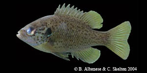spotted sunfish integrade Species Photo