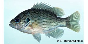 spotted sunfish Species Photo