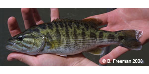 Bartram's bass Species Photo