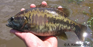 Suwannee bass Species Photo