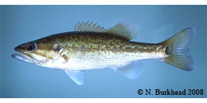 spotted bass Species Photo