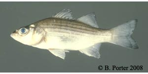 white bass Species Photo