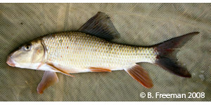 silver redhorse Species Photo
