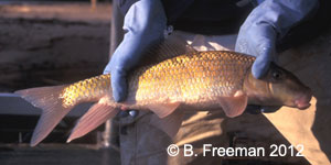notchlip redhorse Species Photo