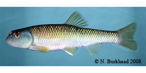 bluehead chub Species Photo