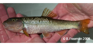 river chub Species Photo