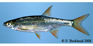 golden shiner Species Photo