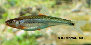 Tennessee shiner Species Photo