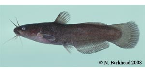 black madtom Species Photo