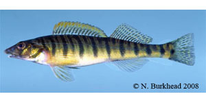 Mobile logperch Species Photo