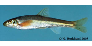 fatlips minnow Species Photo