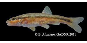 western blacknose dace Species Photo