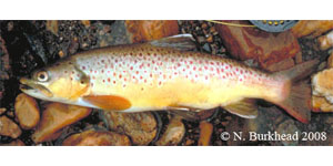brown trout Species Photo