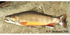 brook trout Species Photo