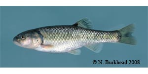 creek chub Species Photo