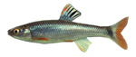 tricolor shiner image